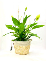 Beautiful combination of a Large Peace lily and  a top quality planter, Creating a soft Looking.