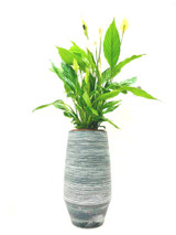 spathiphyllum vividum is a tall with large flowers Peace lily  house plant  in a tall planter, creating impressive luxury style  great for home offices and reception. Height approx 85-95cm cm in total