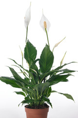 White flowers House plant Spathiphyllum vividum has a large leaves and large flowers growing above the foliage.