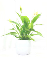 Large spathiphyllum plant  in a white glazed planter. No mess , clean modern looking  great for a bathroom kitchen office etc . Height 70-75cm