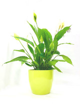 Indoor plant – Spathiphyllum Vivaldi - Height: 70 Green Glazed Ceramic Planter
