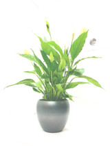 Large spathiphyllum plant  in a white glazed planter. No mess , clean modern looking  great for a bathroom kitchen office etc . Height 70-75cm  Exclusive to best4garden a plant and a quality pot.