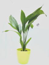 XL Common Aspidistra - Classic easy growing House plant With a Green  pot