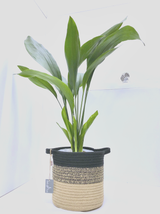 Xl Aspidistra, easy care classic plant with a white and natural  basket planter.  Ideal house plants.