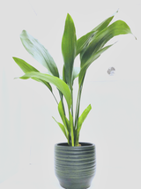Extra Large Aspidistra Plant in a hand made ceramic modern planter.  Classic and easy care plant.