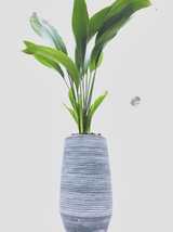 A wow impact , Simple , classic modern looking display of a living aspidistra ( cast iron ) and modern hand made vase planter.  Total height may vary from 90cm to 120cm.