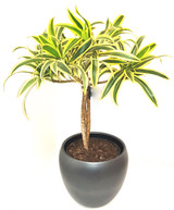 Bright leaves and a twisted stem Smart and cheerful easy care houseplant dracaena Song of india