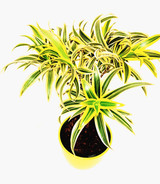Plaited stem Dracena song of India. Bright colour leaves will add bright feeling all year around. Easy to grow