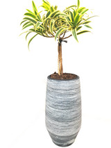 Beautiful plant all year around . Easy to grow.  The Pot is 40cm tall handmade ceramic modern design.
