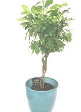 Blue Ocean Ceramic planter and a braided stem ficus , weeping fig  house plant