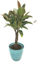 Quality Blue ceramic pot with a braided stem Ficus elastica. Easy to grow , large shiny leaves with red marks air purifying house plant.
