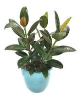 Indian Rubber Tree - Rare Ficus Elastica Abidjan and Apple green ceramic Pot.