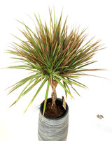 2 colours leaves variegated  Dracaena, Elegant Braided stem and a beautiful planter