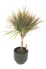 Dracaena marginata  easy care plant add warmth colours all year around with elegant braided stem, Order online free fast delivery in the UK only