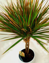 Dracaena bicolour picture from above