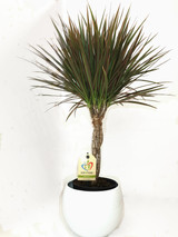 2 colours leaves variegated  Dracaena, Elegant Braided stem and a beautiful white colour planter