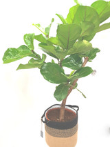 Large leaves , modern looking  fiddle plant, Ficus Lyrata, supplied with a free planter and free delivery