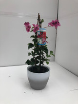 Bougainvillea plant 50-60cm tall with flowers . Supplied with ceramic pot cover to prevent any mess.