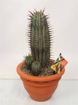 Large  African Milk Barrel Cactus - Euphorbia horrida- in a ceramic pot