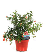 Dwarf Pomegranate Bush