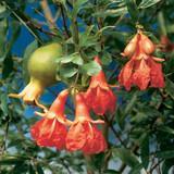 Dwarf pomegranate fruits