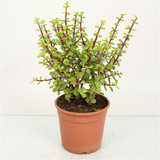 Green portulacaria with red stem, add colour  and easy to grow plant. Great for  nearly every place.