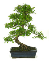 Bonsai Sagaretia S shape