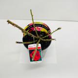 Ruby Wedding Potted Rose - 5.5 Litre Pot