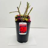 Remembrance Potted Rose - 5.5 Litre Pot