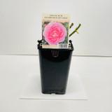 Special Mum Celebration Gift Rose - 5.5 Litre Pot