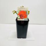 Special Dad Celebration Gift Rose - 5.5 Litre Pot