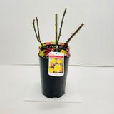 Peace Potted Rose - 5.5 Litre Pot
