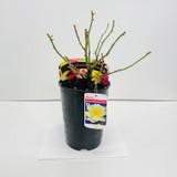 Golden Memories Potted Rose - 5.5 Litre Pot