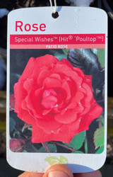 Special Wishes Potted Rose - 5.5 Litre Pot