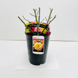 Especially For You Potted Rose - 5.5 Litre Pot
