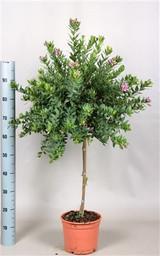 Small polygala sweet pea tree