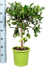 Citrus Lime Tree