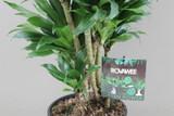 Dracaena Compacta (Branched)