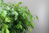 Exotic Benjamin Ficus Leaves