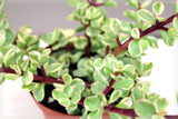 Elephants food plant,  Portulacaria afra Variegata easy care plant add bright colour all year around.