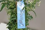Jasmin Gift Plant