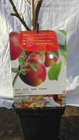 Dwarf Red Apple Tree