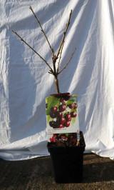 Dwarf Black Cherry Tree