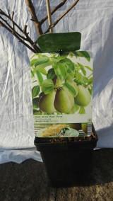 Dwarf Green Pear Tree