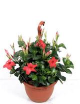 Tropical Evergreen hanging basket - Pink Mandevilla