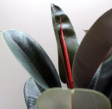 Ficus Elastica Rare