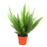 Asparagus Meyers Large 40-50cm height(inc pot height) Pot 17 good for floor / table  and hanging basket, Foxtail fern leaves