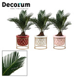 Cycas Palm with a  decorative pot and a metal stand , great on table/ desk  small area. ideal gift. Easy to grow.