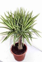 Jewel Yucca