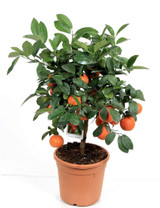 Red Lime Tree